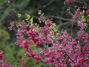 2014-02-16 Cherry blossom, Lantan Festival 145